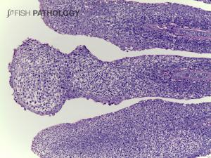 Rainbow trout, gill, H&E; severe lamellar hyperplasia.