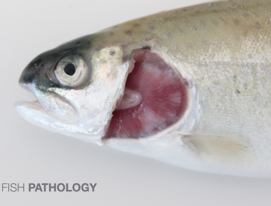 O. mykiss, white spots on gills consistent with severe lamellar hyperplasia.