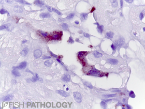 Atlantic salmon, Piscine orthoreovirus in endothelial cells, Heart, IHC.