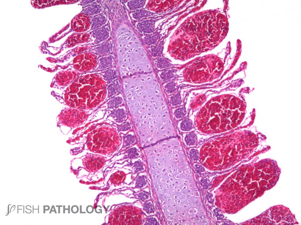 Pseudochattonella cf. verruculosa - Phytoflagellate
