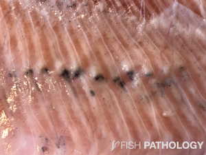 Atlantic salmon, with muscular melanosis due to fracture.