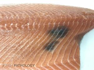 Atlantic salmon, with muscular melanosis.