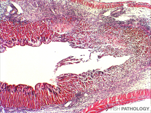 Stomach from fingerling tilapia showing acute gastritis, especially on the right of the image. Here we can also see loss of gastric glands. H&E.