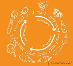 Life cycle of Caligus rogercresseyi.