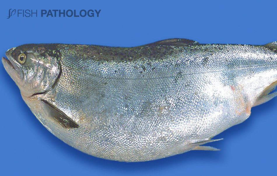 """Chinook salmon with """"Bloat"""". Note the severe abdominal distention."""