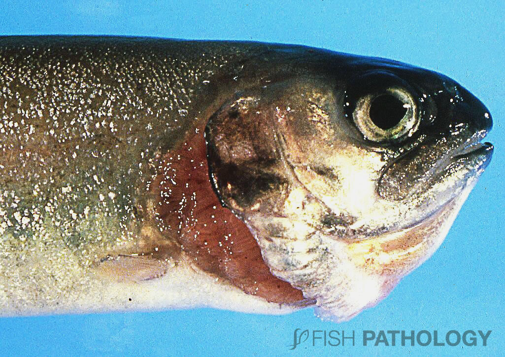 This rainbow trout fingerling with BGD shows the typical flared opercula of respiratory distress. Note that the edge of the flared operculum is eroded. This erosion is typical of intensively-reared fish; its cause is unknown, but might be the result of higher-than-optimal bacterial enzymes in and around the branchial cavity. Whatever the cause, the consequence is a huge reduction in the ability of the animal to pump water due to elimination of the water-tight seal between the trailing edge of the operculum and the body of the fish (the cleithrum). Thus the negative pressure of the opercular pump is greatly reduced. And this in an animal that is trying to pump larger-than-normal volumes of water over its gills due to the hypoxaemia of BGD!