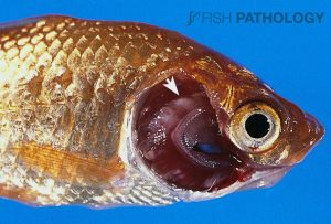 Figure 1. Intensively-reared goldfish with sub-acute/chronic BGD. Note the pale areas of hyperplasia and fusion within the gills (arrow). Although salmonids are most commonly affected, other species are also susceptible.