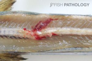 Atlantic salmon, presmolt, FW, exposed to electric shock. Note the spinal fracture associated haemorrhage. The cause of the electric shock was an energized cable that fell into the tank.