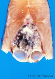 Figure 6. Rainbow trout with severe nephrocalcinosis. The ureters are markedly swollen.