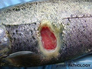 Rainbow trout (80g) from lake at 8° C. Severe deep dermal ulcer due to F. psychrophilum.