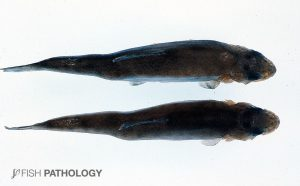 Figure 7. Typical appearance of rainbow trout with chronic F. psychrophilum infection. These scoliotic fish in fact have a vitamin A toxicity, but they look the same!!