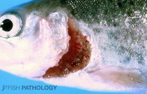 Figure 1. Severe opercular erosion in farmed rainbow trout.