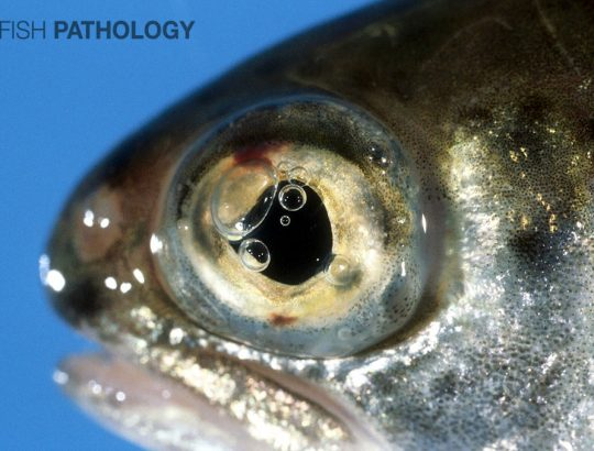 "Figure 1. Rainbow trout with several gas bubbles in the anterior chamber. Note the haemorrhage both dorsally and ventrally, the latter ""coning"" through the ventral iris pore"