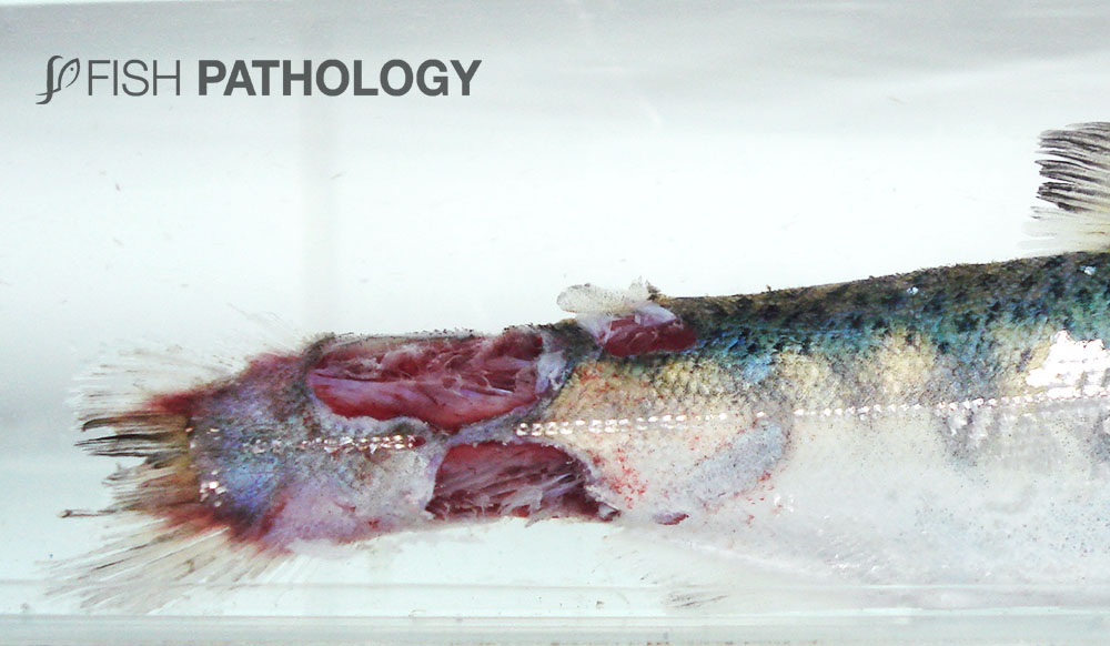Figure 1. Rainbow trout displaying tail and peduncle lesions.