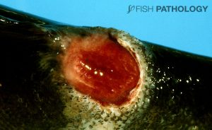 Figure 13: Severe chronic ulcerative dermatitis in Atlantic salmon caused by T. maritimum. Note the prominent white rim of collagen.