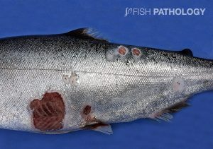 Figure 7. Chinook salmon with Tenacibaculum infection. Note the ulcerative lesions on the flank with muscle exposure and the presence of frayed fins (Picture courtesy of César López).