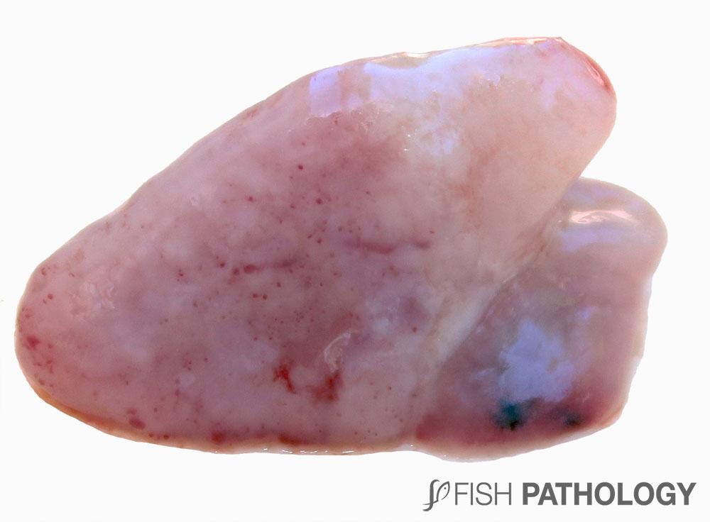 Figura 11. Pericarditis fibrinosa temprana en salmón Coho debido a BKD.