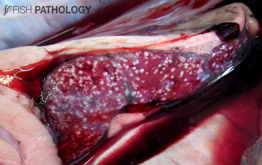 Figure 16. Atlantic salmon with BKD. Note the multiple granulomas in spleen (Picture courtesy of Antonia Sabugal).