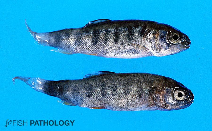 """Figura 2. Infección por F. psychrophilum en trucha arcoíris. Nótese la clásica """"Enfermedad del pedúnculo"""", con necrosis y oscurecimiento de los tejidos distales a la aleta anal."""